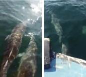 YUNUSLAR - Yunuslar Balıkçı Teknesiyle Yarıştı