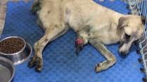 FEVZIPAŞA - Ayağı Ve Kuyruğu Kesilen Köpek Tedavi Altına Alındı
