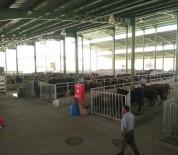 DEZENFEKSİYON - Modern Hayvan Pazarı'nın İlk Kurbanlıkları Geldi