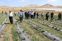 AYRANCıLAR - Türkiye'nin En Soğuk İlçesinde Çilek Yetişti