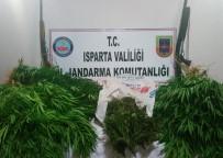 Yalvaç'ta Yasa Dışı Kenevir Yetiştiriciliğine Jandarma Baskını Açıklaması 1 Gözaltı