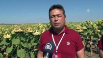 İBRAHIM ŞAHIN - Zirai Hastalığa Dayanıklı Ayçiçeği Tohumu Geliştirildi