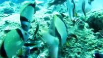 HINT OKYANUSU - 'Akdeniz'in Doktor Balıklarından Korkmayın'