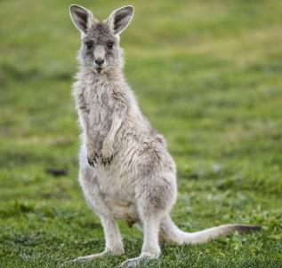 Çiftçilere kanguru öldürme izni