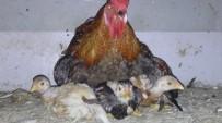 Civcivlerin Üzerine Tavuk Yerine Horoz Yattı