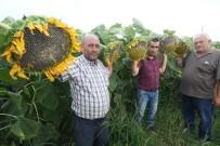 Çin Ayçiçeği Yenişehir Ovasını Sevdi