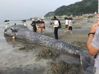 BALINA - Dev balina Japonya sahillerine vurdu