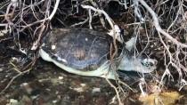 DENİZ KAPLUMBAĞALARI - Muğla'da Ölü Caretta Caretta Sahile Vurdu