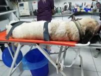 BELDEN - Aracın Çarpıp Kaçtığı Yaralı Köpek Tedavi Edildi