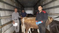 Emet'te 7 Genç Çiftçiye 35 Adet Düve Hibe Edildi