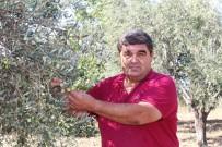 HÜSEYIN BOZKURT - Zeytin Sineği Zararlısına İncir Ağaçlı Koruma