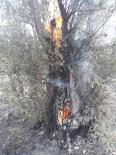 Zeytinlikteki Yangın Diğer Ağaçlara Sıçramadan Söndürüldü