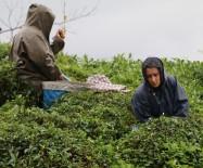 ALİHAN - Çay Sezonunu Kemençe Eşliğinde Çay Toplayarak Sonlandırdılar