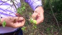 19 MAYıS - Subasar Ormana 'Amerikan Beyaz Kelebeği' Tehdidi
