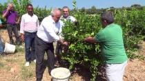 Mersin'de Erkenci Limonun Hasadı Sürüyor
