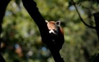 PANDA - Bursa Hayvanat Bahçesi'nin Yeni Misafiri Kırmızı Pandalar