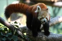 PANDA - Kırmızı Pandalar Çocukların Maskotu Oldu