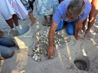 DENİZ KAPLUMBAĞALARI - Yavru Caretta Carettalar Denizle Buluştu