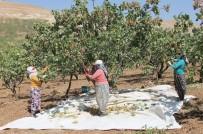 GÖKÇEBAĞ - Siirt'te Fıstık Hasadı Sürüyor