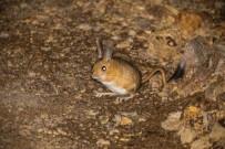 DOĞU ANADOLU - Gümüşhane'de Arap Tavşanı Görüntülendi