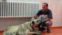 Kangal Köpeklerinin Tümörleri Operasyonla Alındı