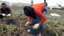 PARMAK - Sivas'ta 7 Çeşit Yerli Patates Üretildi