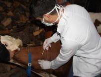 BÜYÜKBAŞ HAYVANLAR - Silivri'de şarbon aşılaması başladı