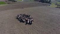 160 Keçi İle 40 Yıldır 8 Çocuğa Bakıyor