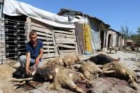 KÖPEK - Başıboş Köpekler 30 Koyunu Telef Etti