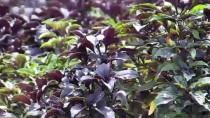 MÜHENDISLIK - Belediye Reyhanı Paket Çaya Dönüştürdü Üretim 20 Kat Arttı