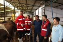 SONBAHAR - Büyükbaş Hayvanlar Hastalıklara Karşı Aşılanıyor