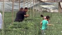 İNGILTERE - Deregümü Köyünün Kesme Çiçekleri Avrupa'yı Süslüyor