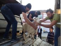 BÜYÜKBAŞ HAYVAN - Tosya'da Genç Çiftçilere 96 Koyun 6 Koç Dağıtıldı