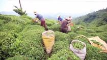 DOĞU KARADENIZ - ÇAYKUR Tarihinin En Büyük İkinci Yaş Çay Alımını Yaptı