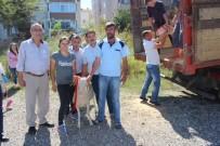 Kırklareli'de 47 Adet Kıvırcık Irkı Damızlık Koç Dağıtıldı