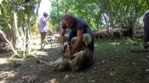 DÜNYA ŞAMPİYONU - 'Dünyanın En İyi Koyun Kırkımcısı' Olmak İstiyor