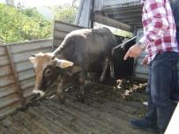 TARıM İŞLETMELERI GENEL MÜDÜRLÜĞÜ - Genç Çiftçilerine Büyükbaş Hayvanları Teslim Edildi