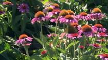 ORMAN BAKANLIĞI - Yerli Tohumlara 7 Yeni Çeşit Eklendi