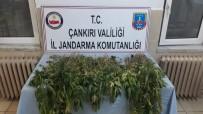 Çankırı'da 450 Kök Kenevir Ele Geçirildi