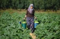 İznik'in Kabakları Almanya'ya İhraç Ediliyor