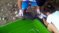 GÖCEK - Deniz Kaplumbağasına Kalp Masajı Ve Suni Solunum