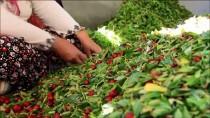 ORTADOĞU - 'Ölümsüzlük Meyvesi' Hünnapta Hasat Dönemi