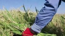 PATENT - Tescilli Pirinçte El Emeğiyle Hasat