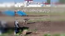 BEŞEVLER - Ardahan Kent Merkezinde Kurt Görüntülendi