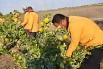 ALI ÇOLAK - Çiftçi Hükümlülerden Yerli Üretime Destek