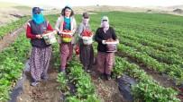 KANDIL - Yediveren Çileği, Çiftçinin Umudu Oldu