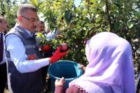 KEMAL YURTNAÇ - Cumhurbaşkanı Yardımcısı Oktay Örnek Bahçede İşçilerle Elma Hasadı Yaptı
