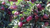 KAYGıSıZ - Elma İhracatında Yüzler Gülecek