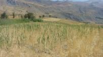Yaban Domuzları Buğday Tarlalarına Zarar Verdi