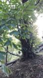 5 Asırlık Kestane Ağacı Koruma Altına Alınmayı Bekliyor